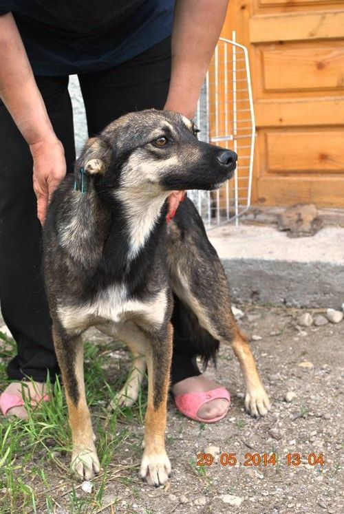 MANGUSTI - femelle, taille moyenne , née en mai 2013 (chez Anda et Alina) - adoptée par Caroline (dpt60) Mangus12