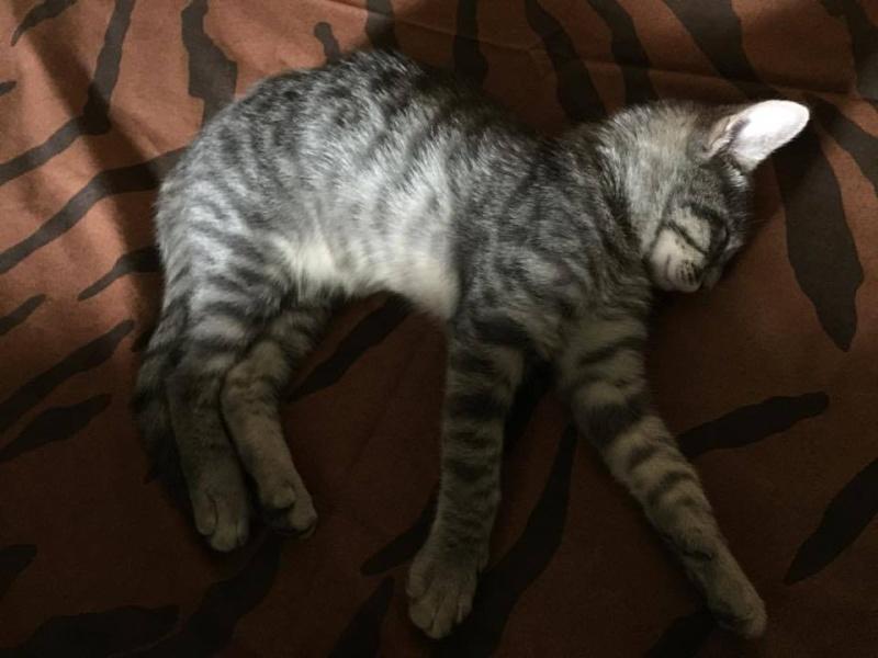 PIMPRENELLE, bébé chat femelle type européen - mai 2015 - adoptée par Sylvie (dpt 83) Pimpre11