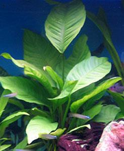 Recherche de plantes Anubia10