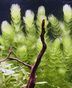 Recherche de plantes Cerato11