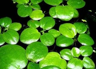 Recherche de plantes Limnob11