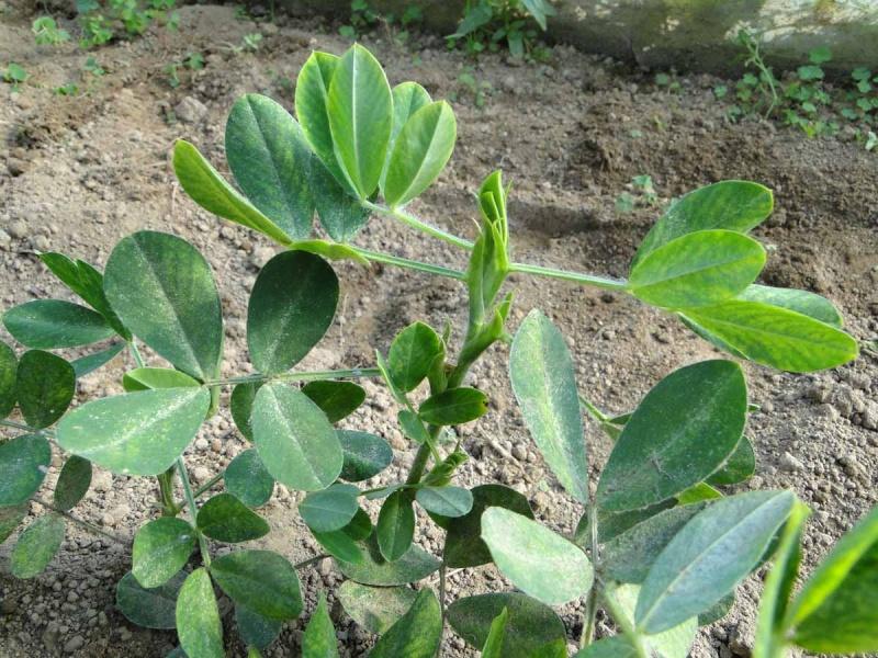 Semis de cacahuètes Cacahu11