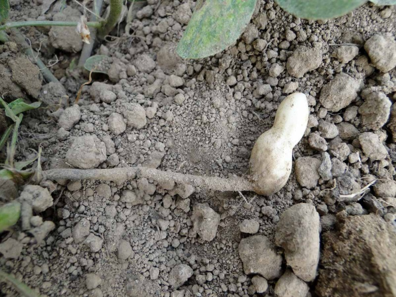 Semis de cacahuètes Cacahu13