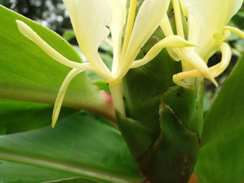 Hedychium flavescens Dsc01516