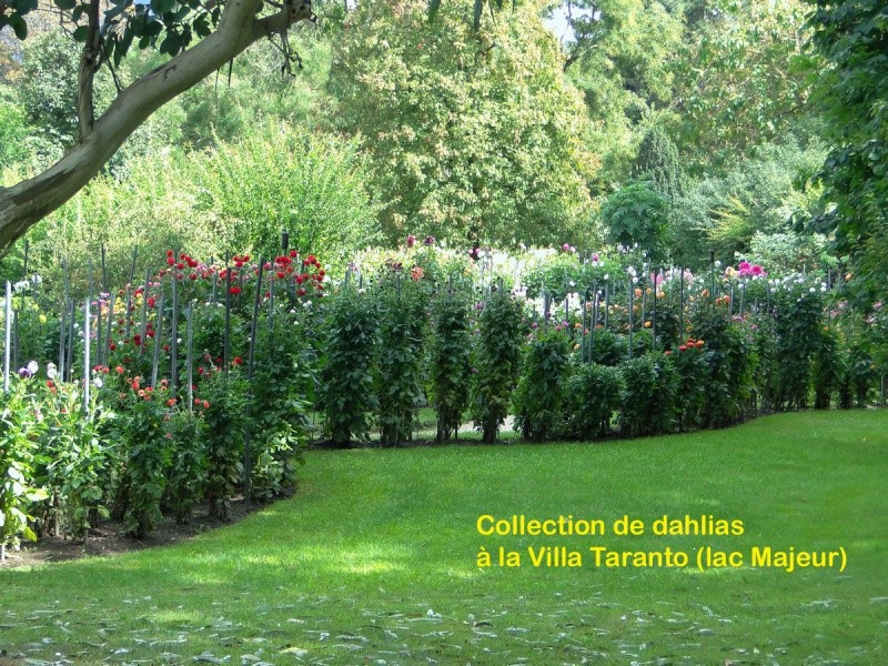 Dahlia - variétés, culture - Page 3 Dsc02110
