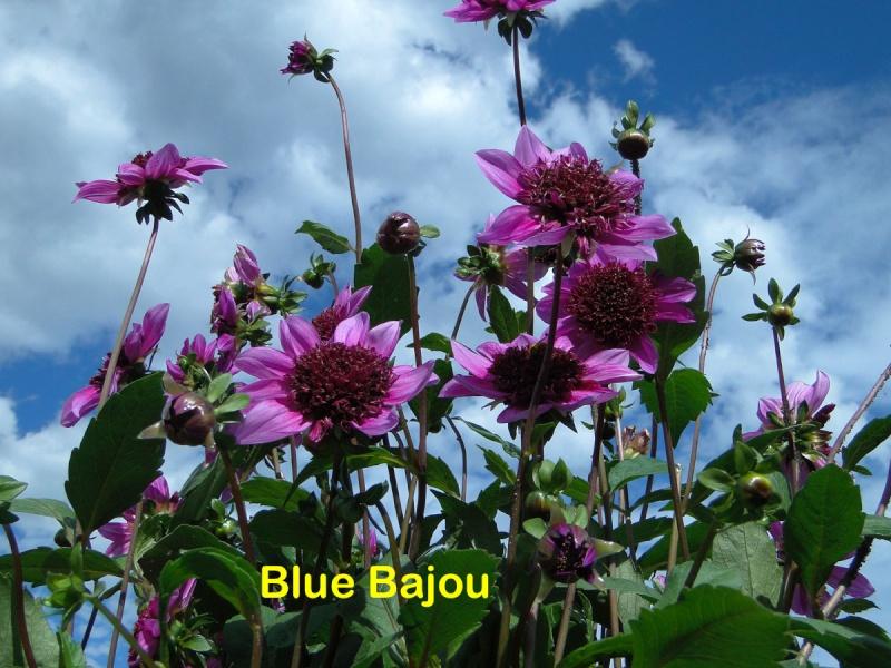 Dahlia - variétés, culture - Page 3 Dsc02121