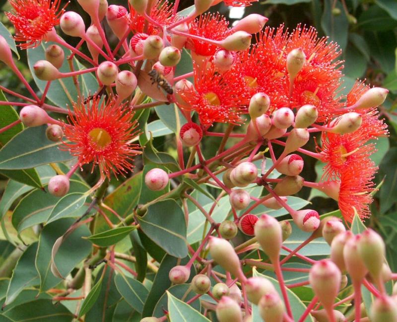 Eucalyptus leucoxylon subsp. megalocarpa Eucaly11