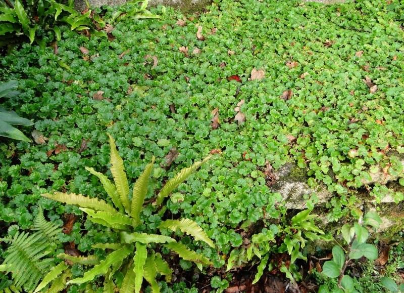Concours : Les  plantes font tapis - Page 2 Gunner10