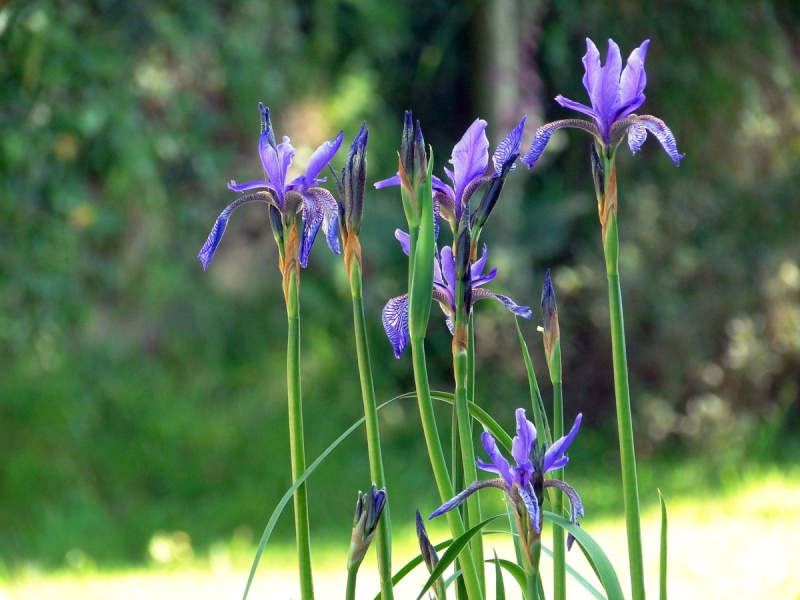 Iris ruthenica Iris_r10