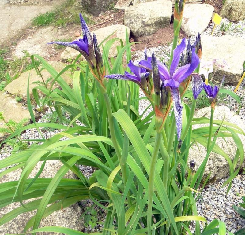 Iris ruthenica Iris_r11