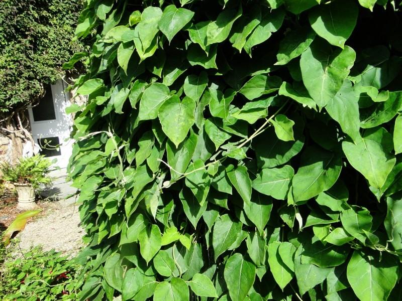Dregea sinensis [identification] Olga_y10