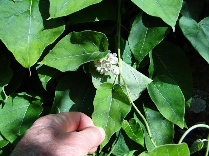 Dregea sinensis [identification] Olga_y11