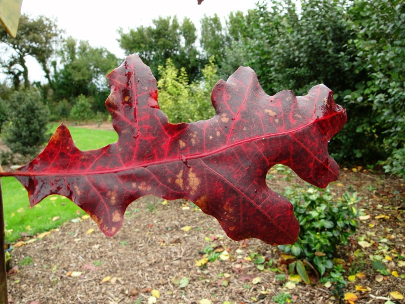 Quercus rubra, Quercus coccinea, Quercus palustris - chênes rouges américains Quercu10