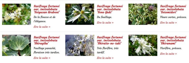 Saxifraga fortunei Saxifr16