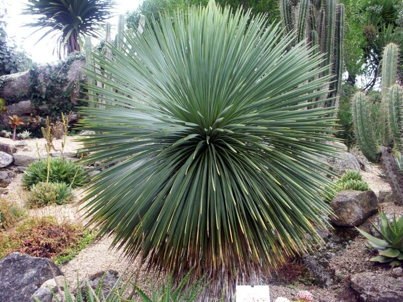 (29) Un jardin exotique à Brest Yucca_10