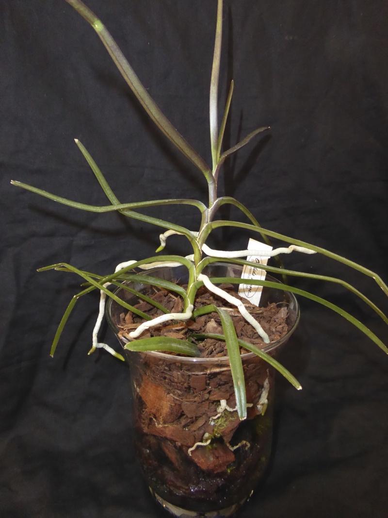 Ascocentrum christensonianum - Seite 3 P1030118
