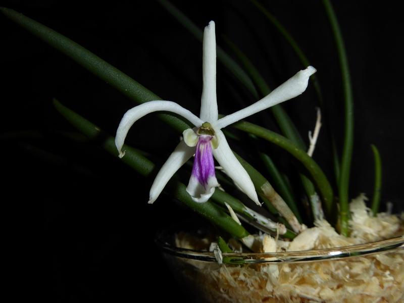 Leptotes bicolor P1030119