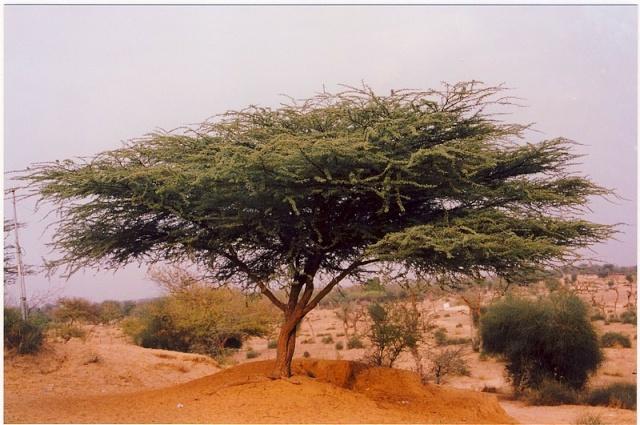 Les photos d'un jour... pas du jour - Page 2 Acacia10