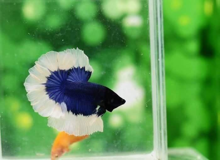 Halfmoon bleu papillon Receiv10