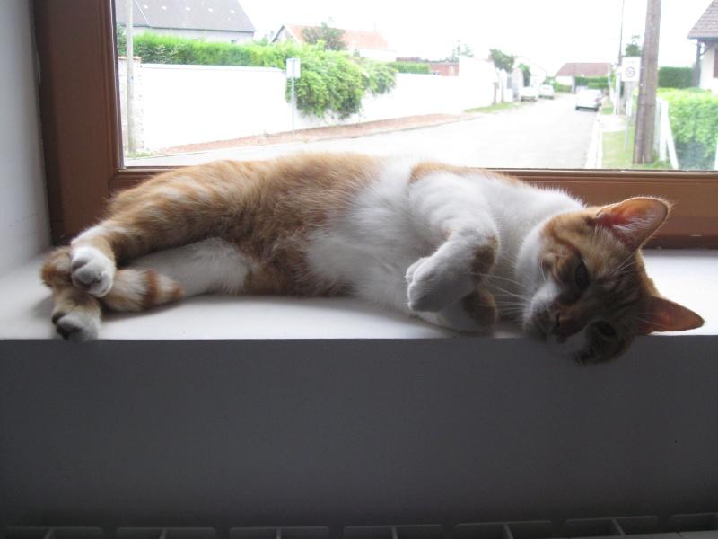 Pitch, le chaton parfait, roux et blanc, né mi-mars 2014 - réservé Img_5110