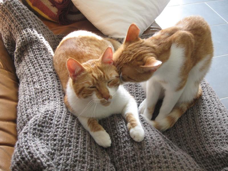 Pitch, le chaton parfait, roux et blanc, né mi-mars 2014 - réservé Img_5414