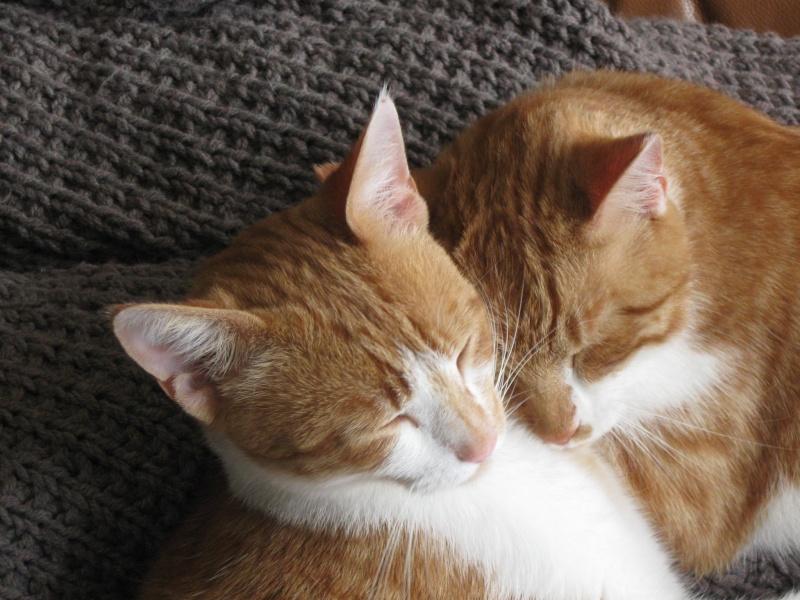Pitch, le chaton parfait, roux et blanc, né mi-mars 2014 - réservé Img_5415