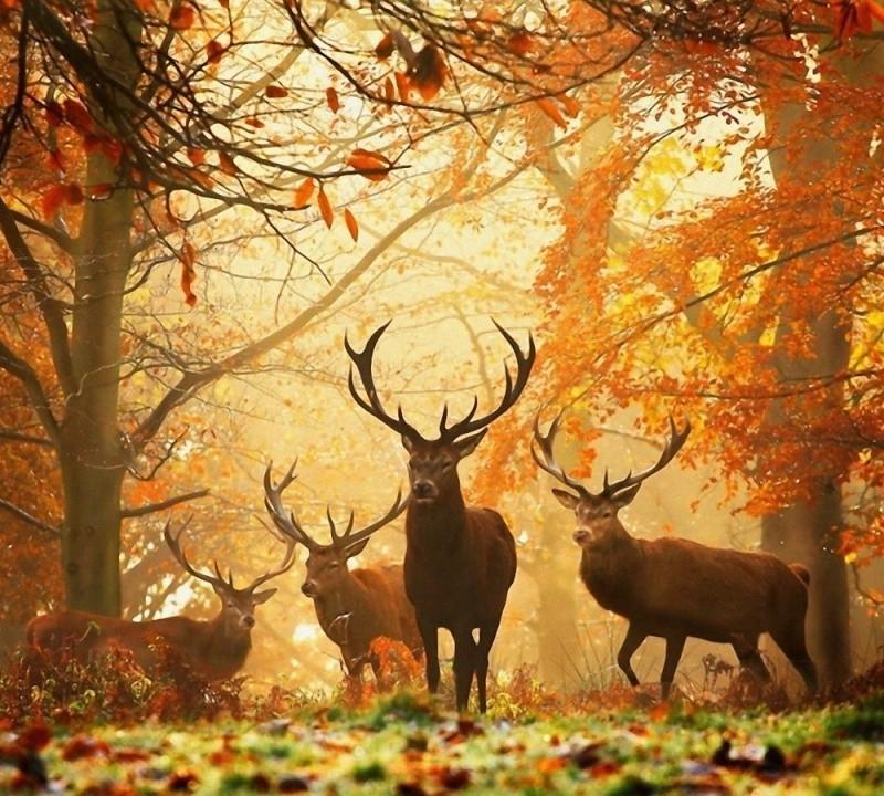 l'automne Cerf10