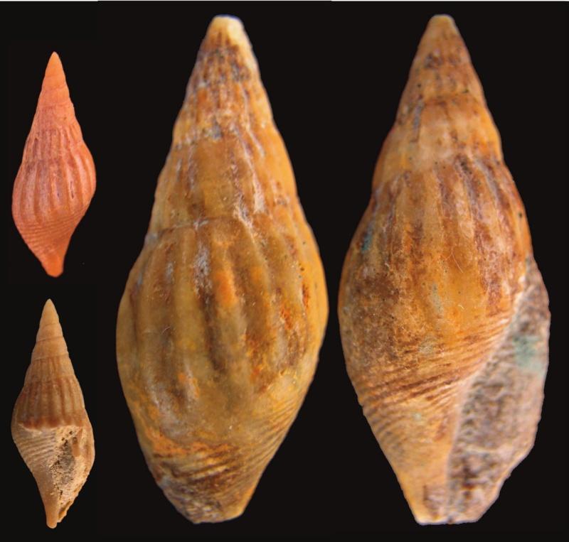 Gastropods Bartonien juvénile  et  adulte _lyria10