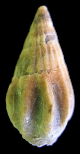 Gastropods Bartonien juvénile  et  adulte _volut10