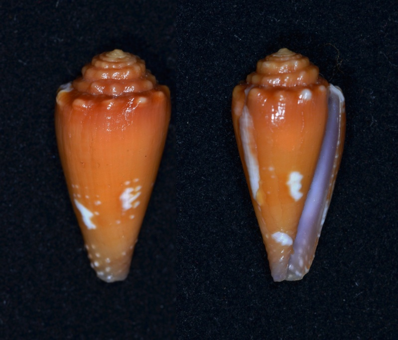 Conus (Phasmoconus) goudeyi  (Monnier & Limpalaër, 2012) Conus_10