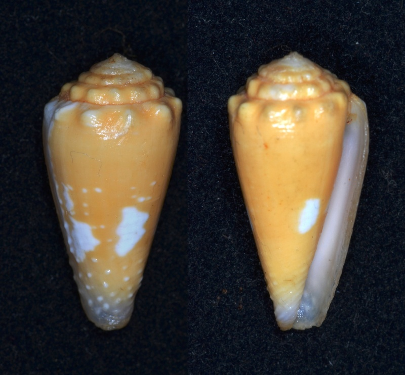 Conus (Phasmoconus) goudeyi  (Monnier & Limpalaër, 2012) Conus_11