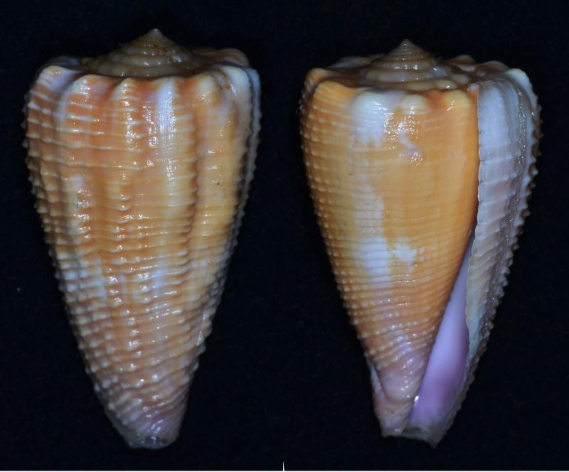 Conus (Phasmoconus) exiguus optimus Sowerby III, 1913 voir Conus (Ph) exiguus Conus_12
