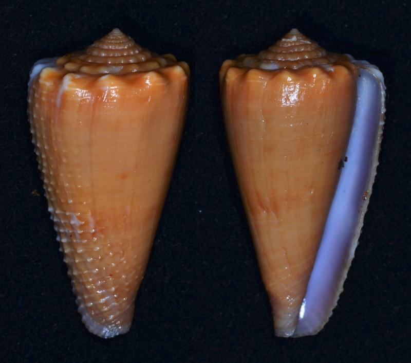 Conus (Phasmoconus) exiguus optimus Sowerby III, 1913 voir Conus (Ph) exiguus Conus_13