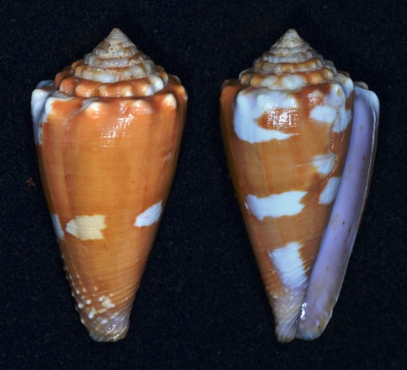 Conus (Phasmoconus) exiguus optimus Sowerby III, 1913 voir Conus (Ph) exiguus Conus_14