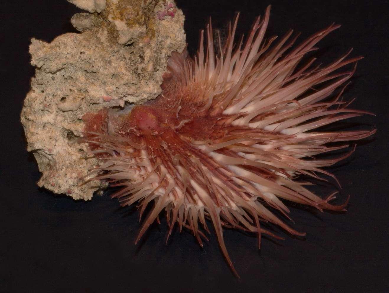 Spondylus visayensis - Poppe & Tagaro, 2010 Visaye10