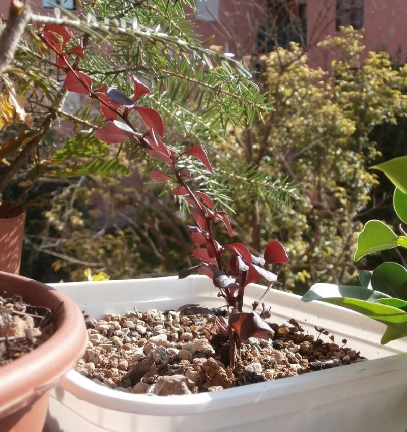 Riconoscimento arbusti: Biancospino e Berberis Berber11