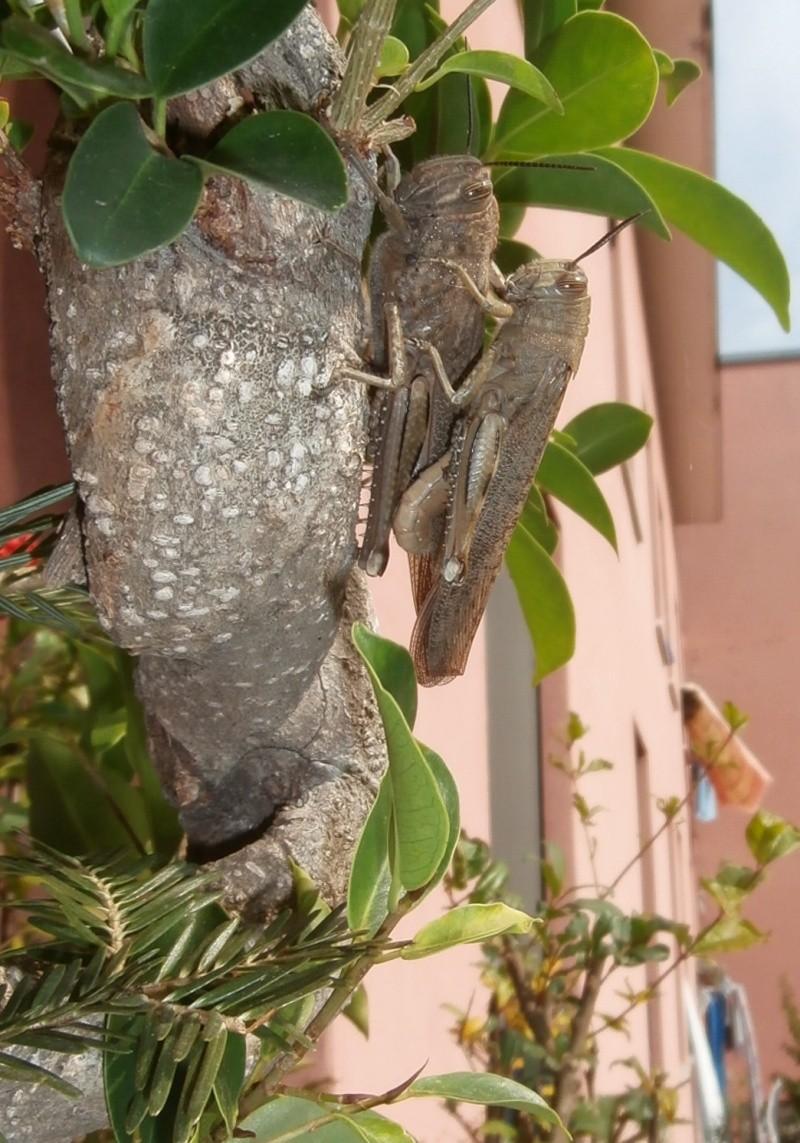 """Ficus Retusa """"Perronius"""" - Pagina 3 Cavall10"""