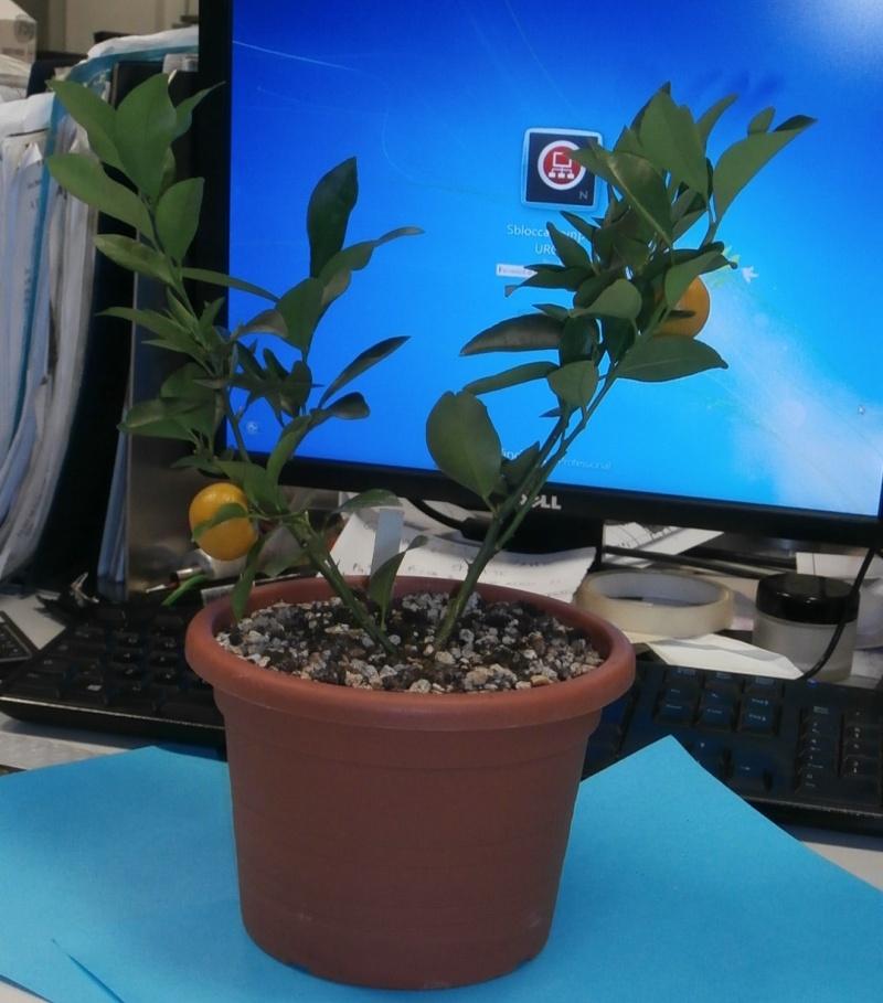 Bonsai da ufficio! Citrus12