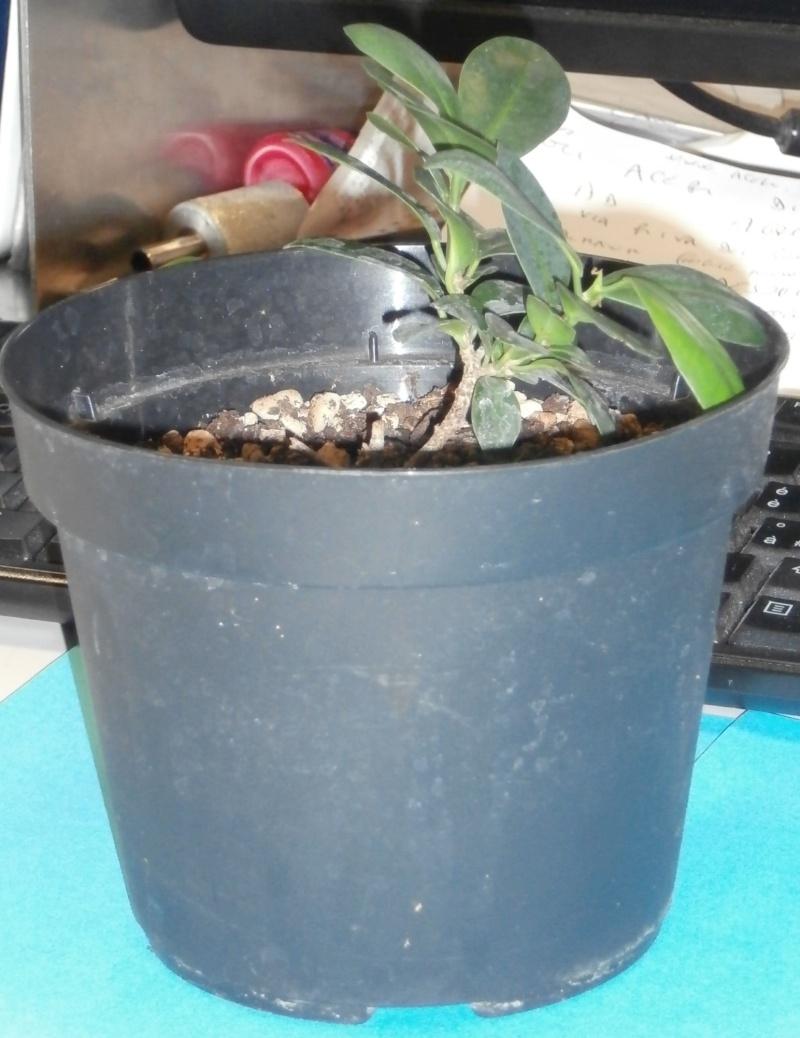 Bonsai da ufficio! Ficus_10