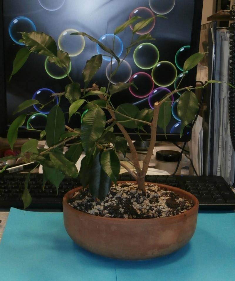 Bonsai da ufficio! Ficus_11