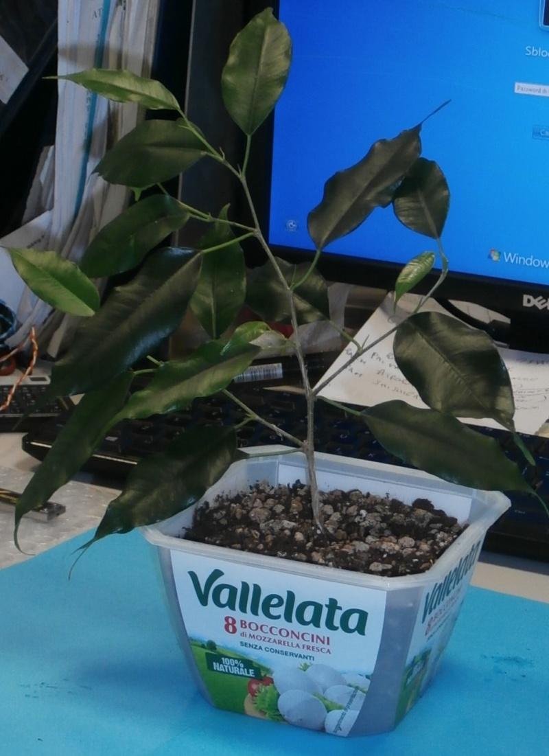 Bonsai da ufficio! Ficus_12