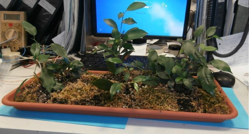 Bonsai da ufficio! Ficus_13