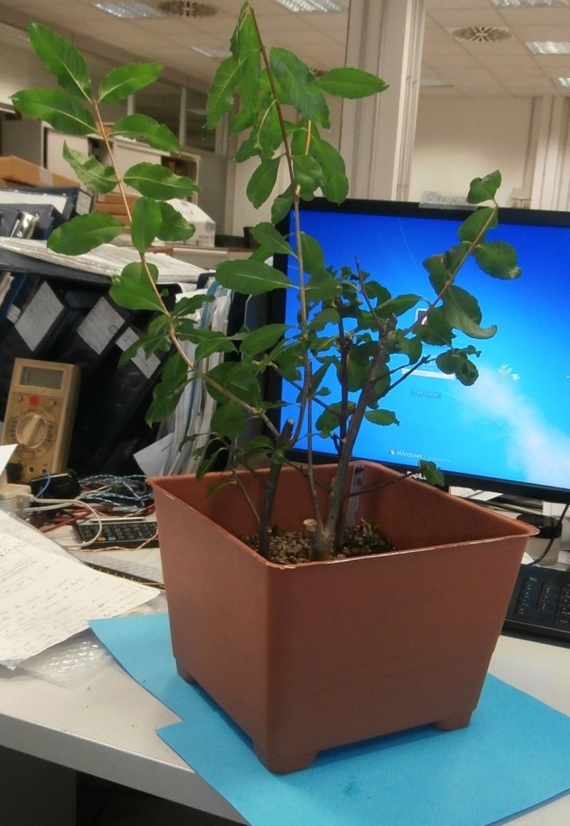 Bonsai da ufficio! Melogr11