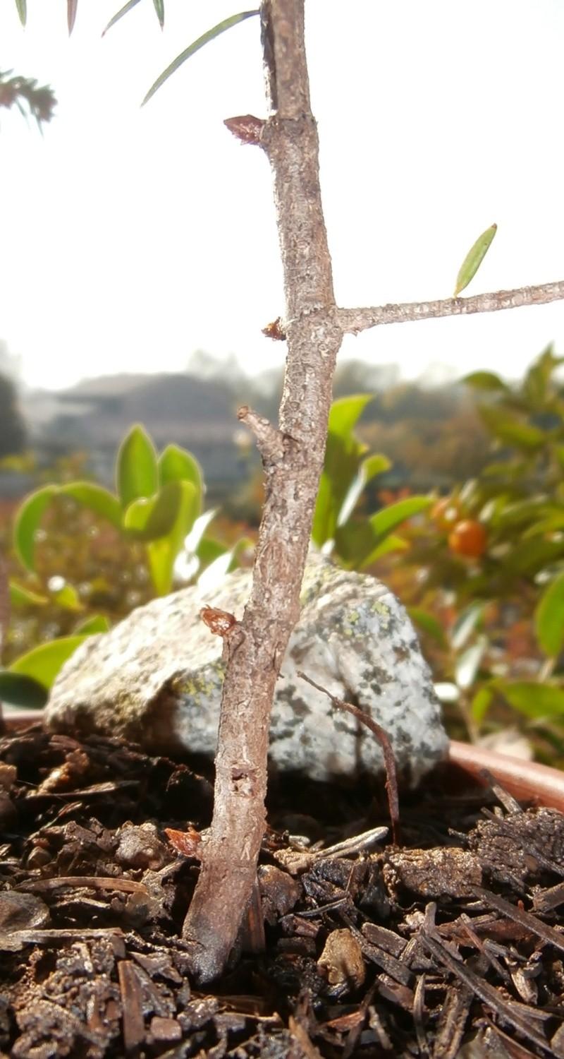 Gli abeti bianchi lucani di richiurci Minor_10