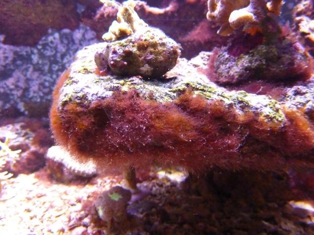 Besoin d'identification Algue rouge-bordeau Algue_10