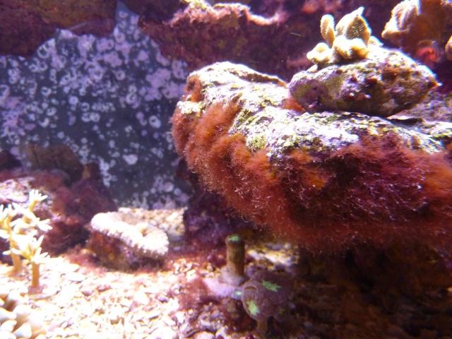 Besoin d'identification Algue rouge-bordeau Algue_11