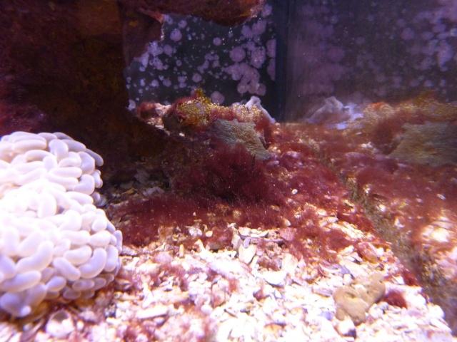 Besoin d'identification Algue rouge-bordeau Algue_12