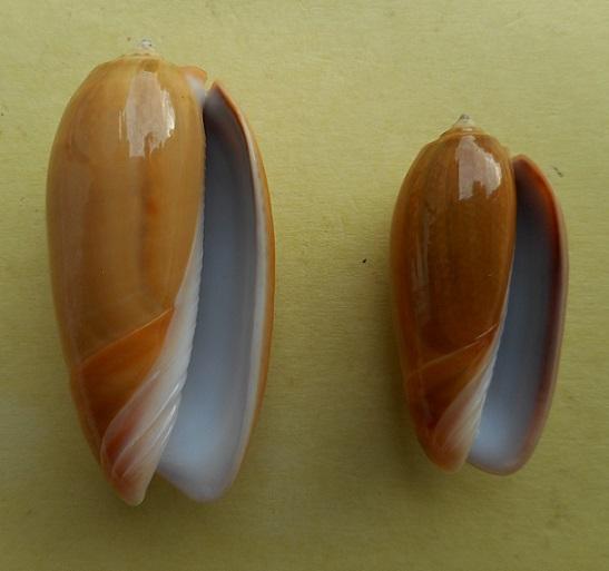 Viduoliva vidua f. aurata (Roding, 1798) Dscn6321