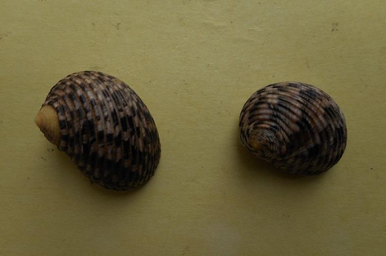 Nerita undata - Linnaeus, 1758 Dscn6323