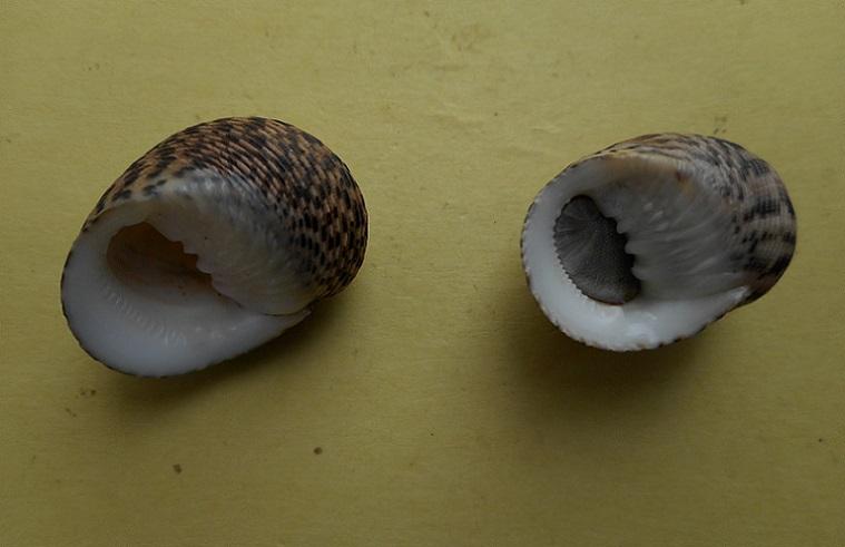 Nerita undata - Linnaeus, 1758 Dscn6324